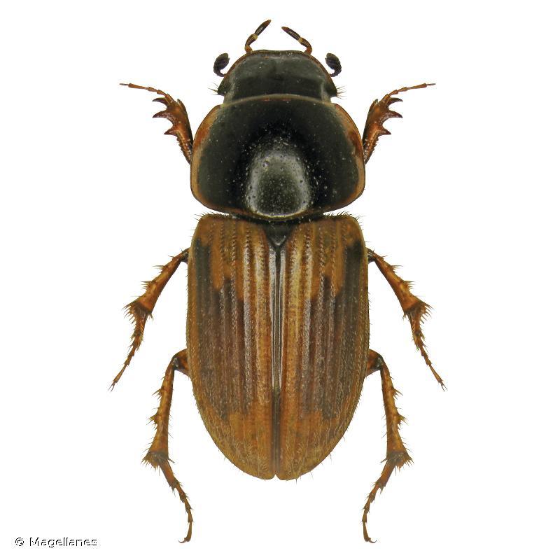 Melinopterus sphacelatus