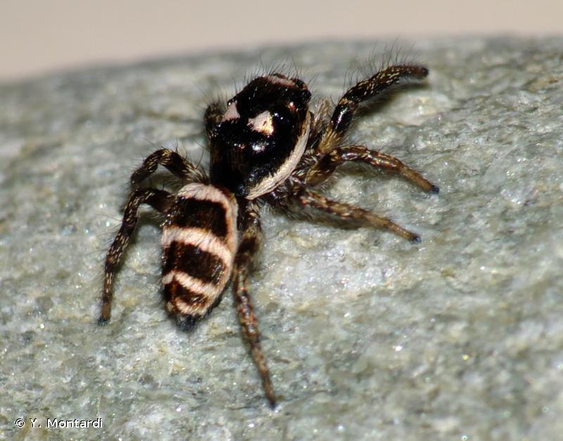 Salticus propinquus