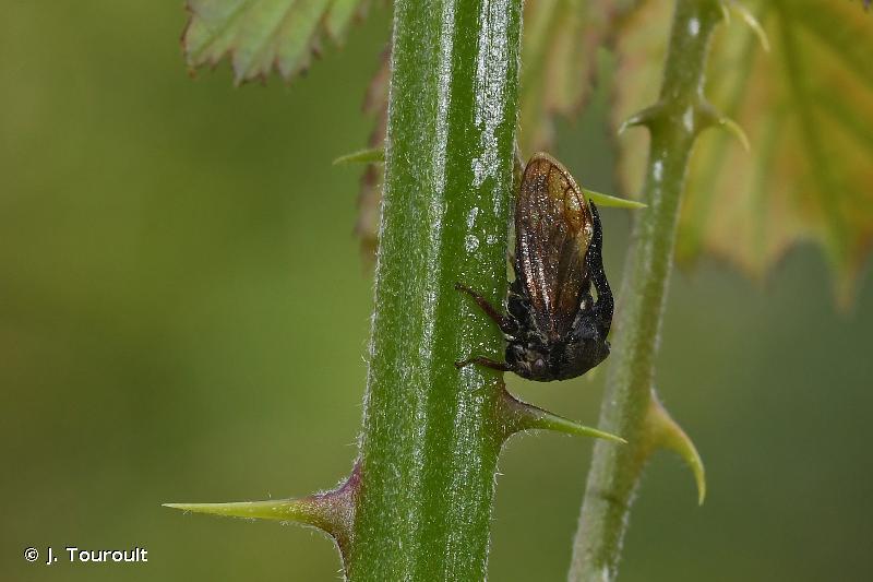 Centrotus cornutus