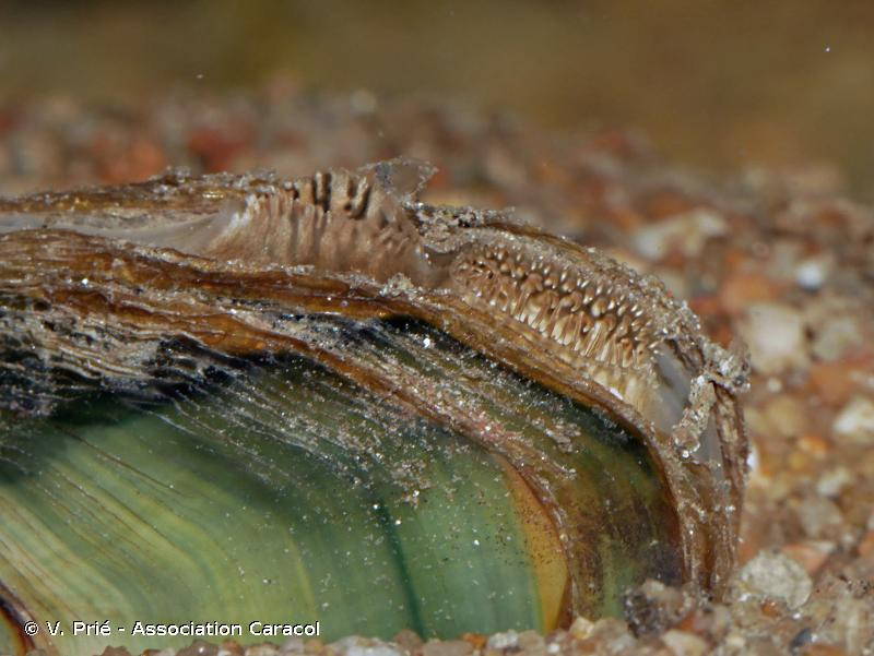 Pseudanodonta complanata
