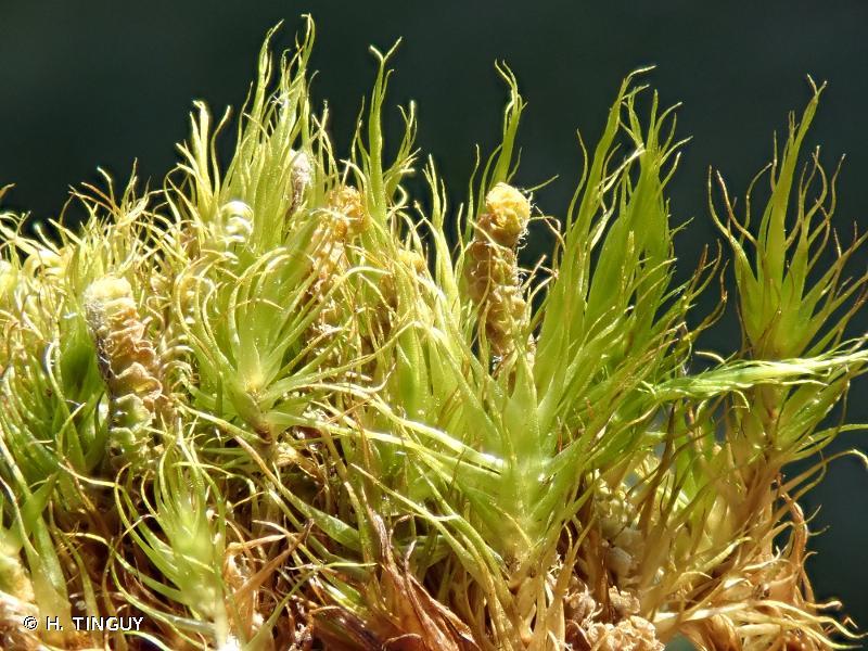 Dicranum spadiceum