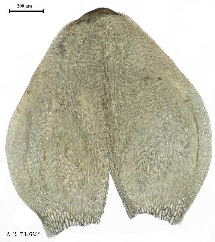 Drepanocladus trifarius