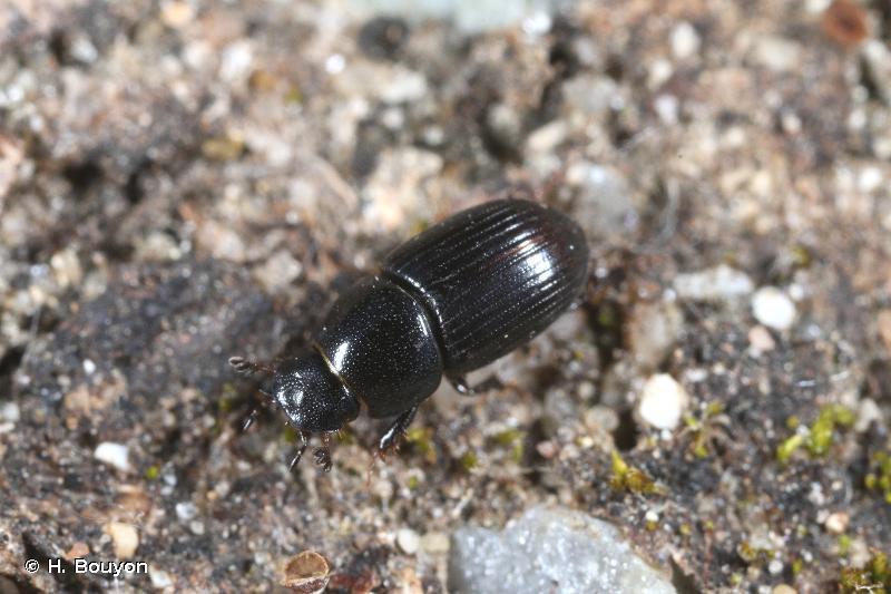 Euorodalus coenosus