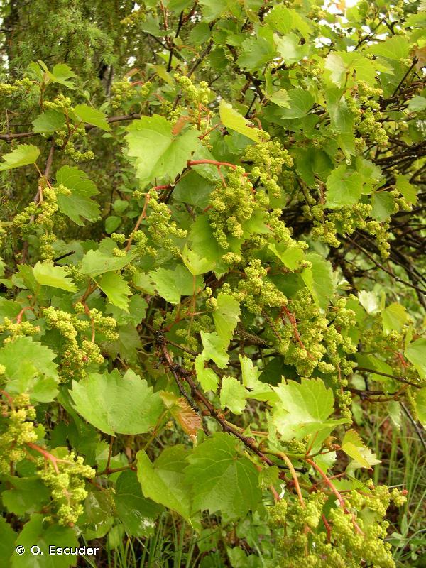 Vitis vinifera subsp. vinifera