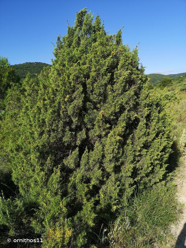 Juniperus phoenicea