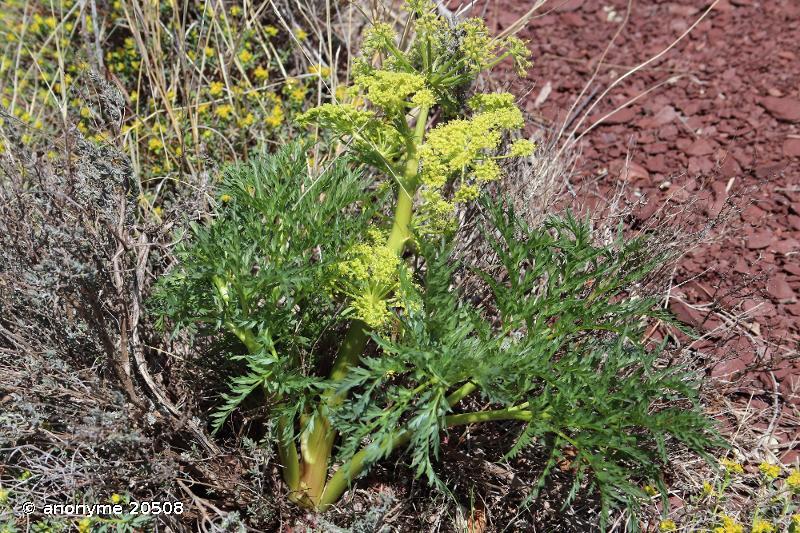 Molopospermum peloponnesiacum