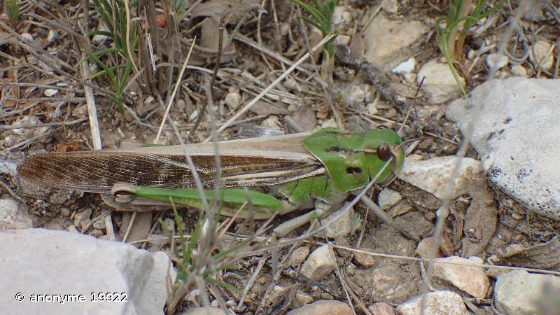 Locusta cinerascens