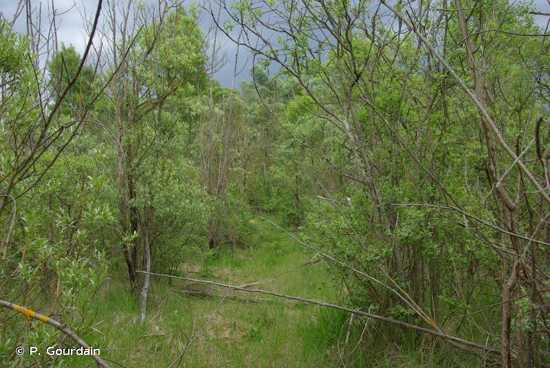 44.9 - Bois marécageux d'Aulne, de Saule et de Myrte des marais - CORINE biotopes