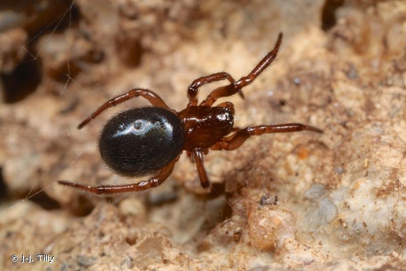 Enoplognatha thoracica