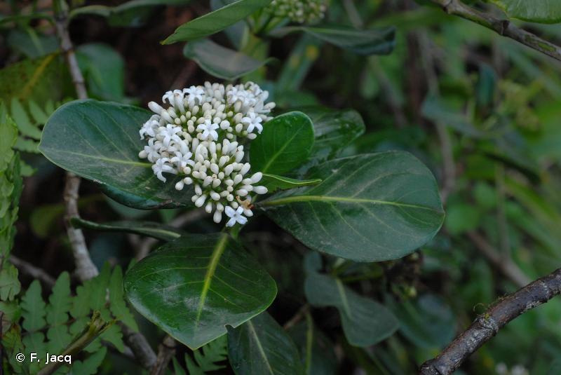 Psychotria florencei
