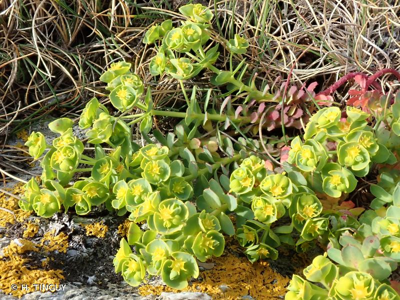 Euphorbia segetalis subsp. portlandica
