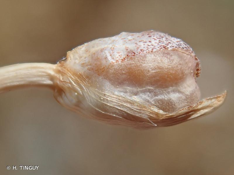Romulea columnae