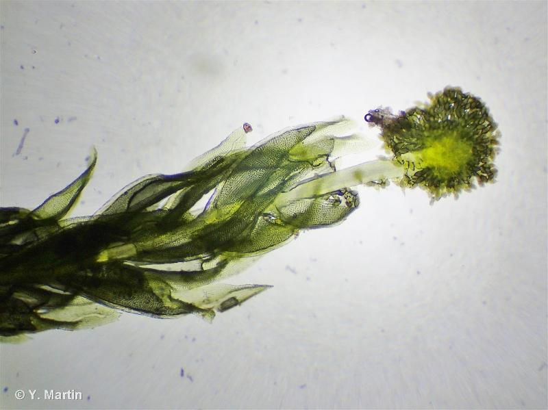 Aulacomnium androgynum
