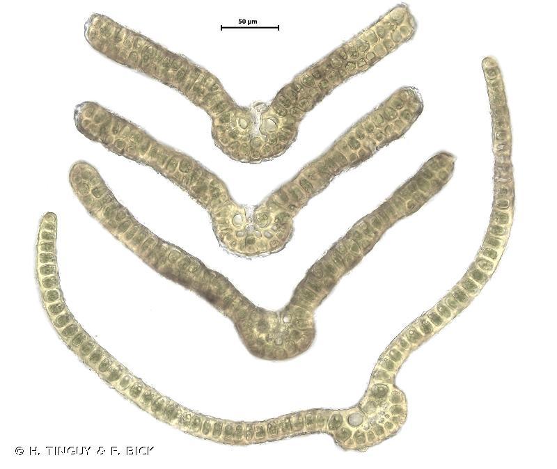 Grimmia donniana
