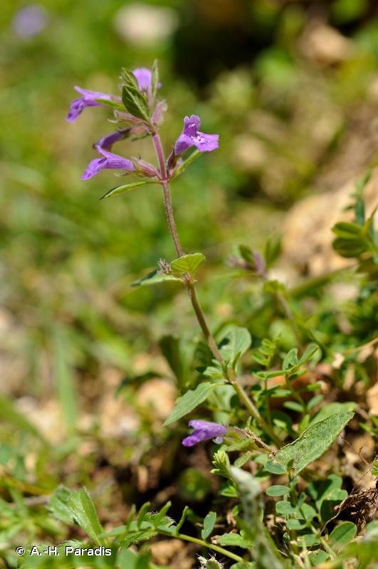 Ziziphora granatensis subsp. alpina