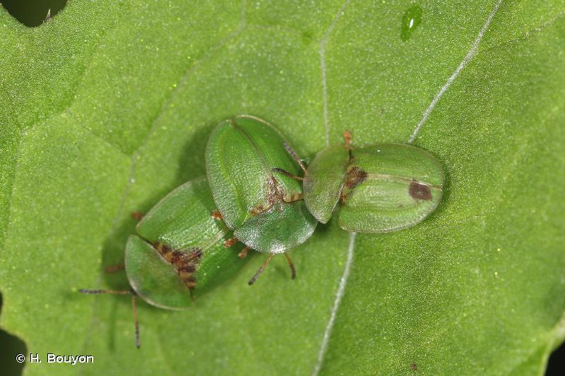 Cassida rubiginosa