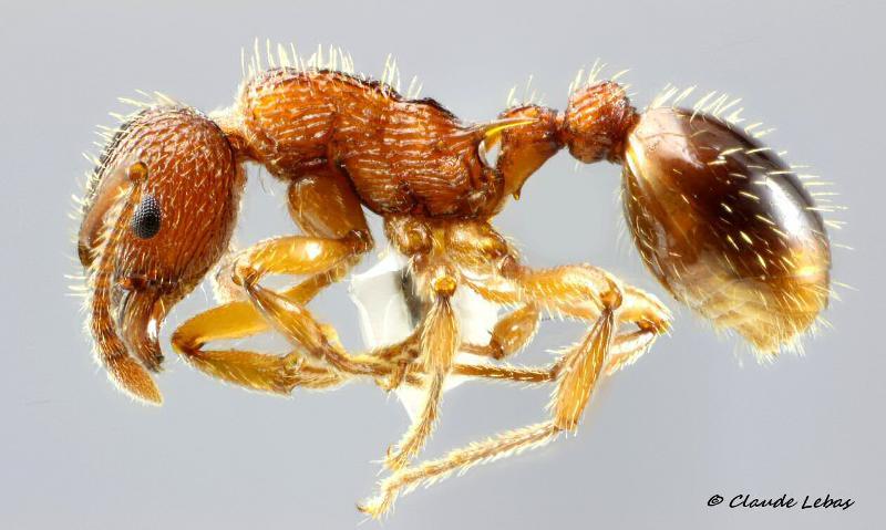 Myrmica aloba