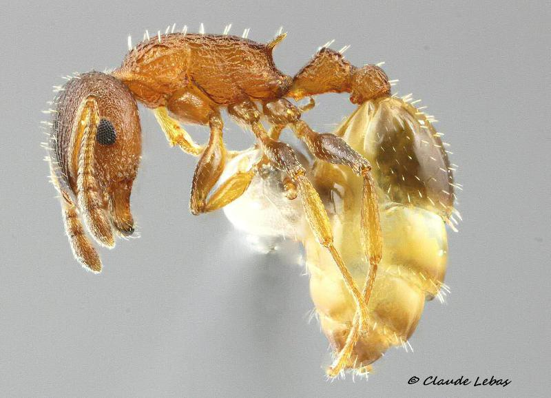 Temnothorax affinis