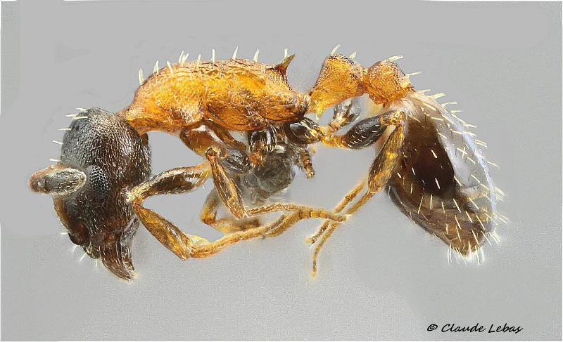 Temnothorax nigriceps