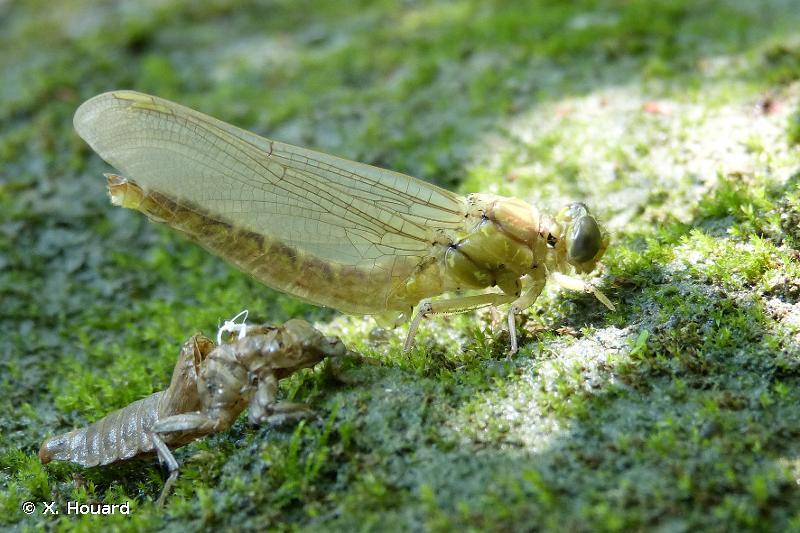 Stylurus flavipes