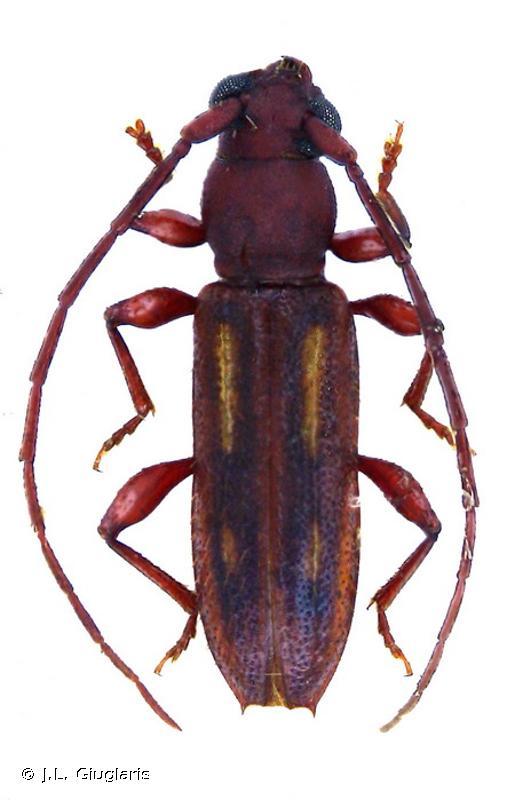 Haruspex lineolatus