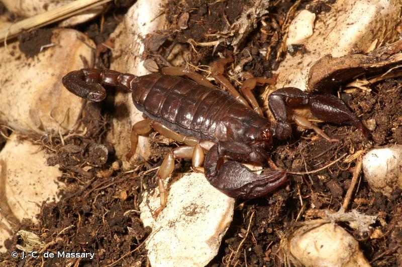 Euscorpius tergestinus
