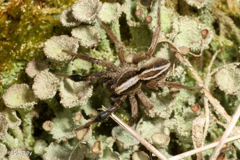 Alopecosa cuneata