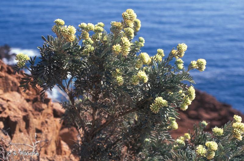 Anthyllis barba-jovis
