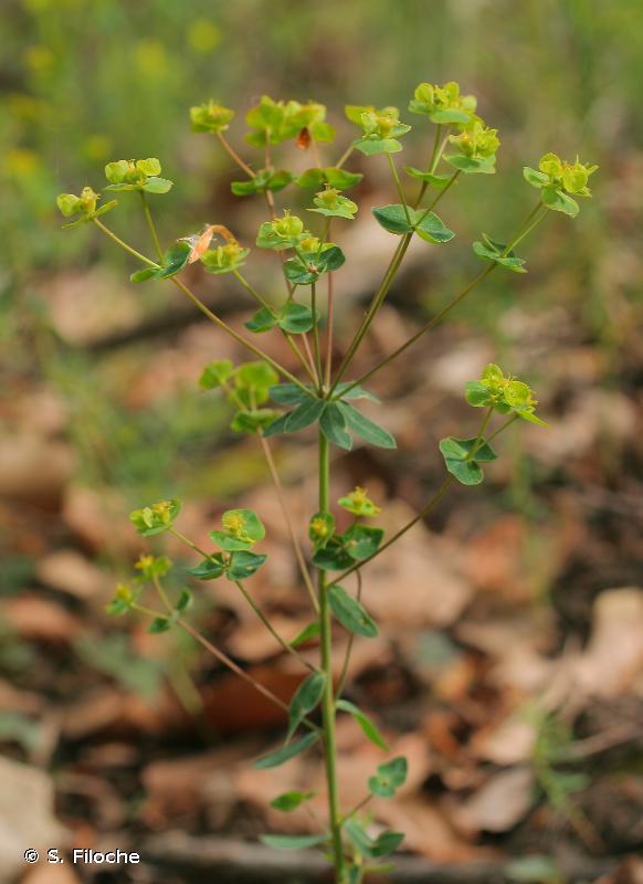 Euphorbia loreyi