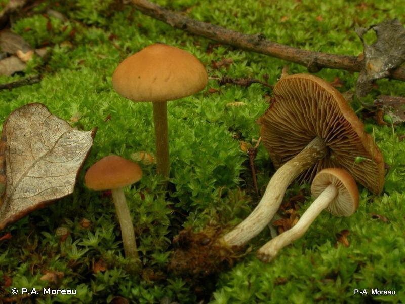 Hebeloma pseudoamarescens