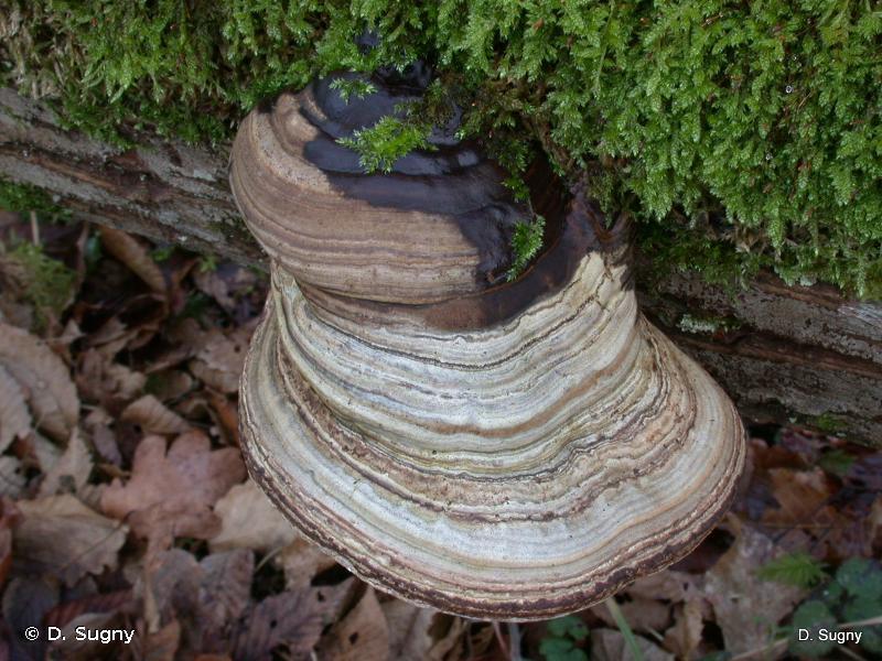 Ganoderma lipsiense