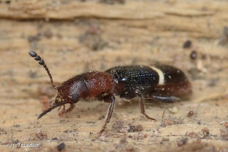 Paratillus carus