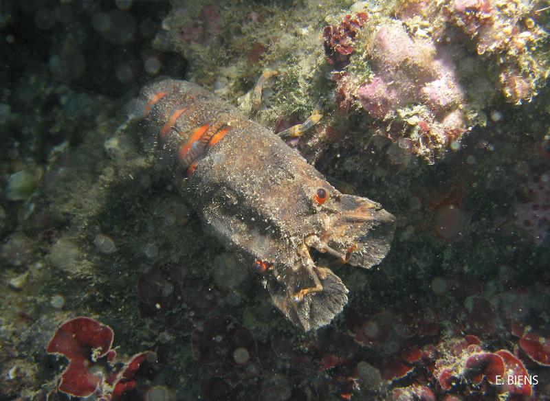 Scyllarus arctus