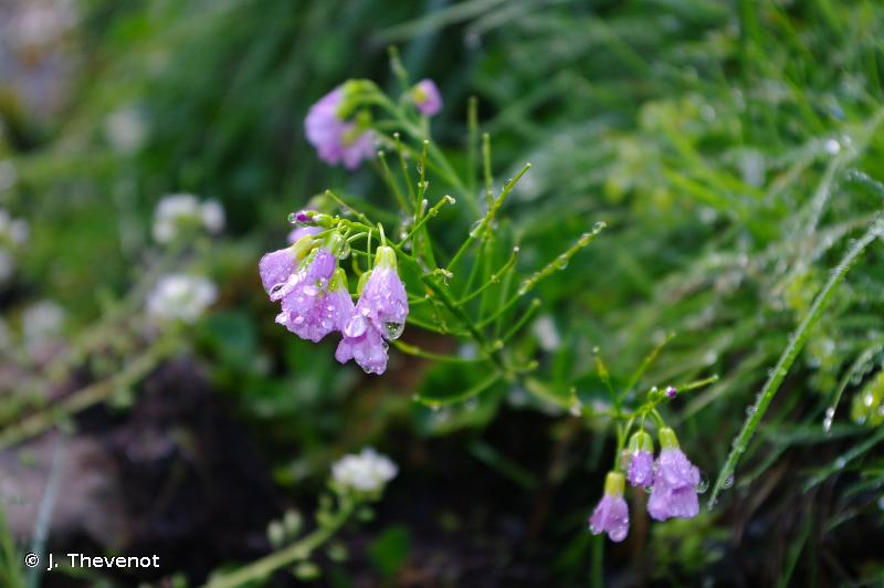 Cardamine raphanifolia