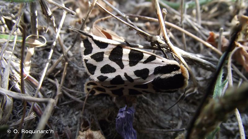 Cymbalophora pudica