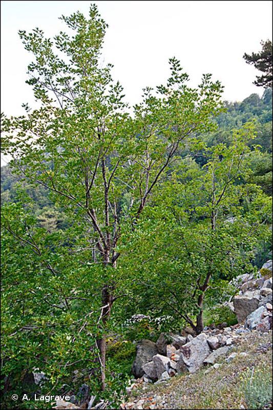 41.4 - Forêts mixtes de pentes et ravins - CORINE biotopes