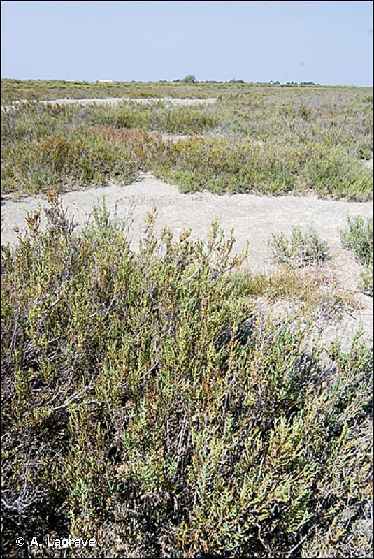 15.612 - Bosquets d'arbrisseaux à Arthrocnemum (enganes) - CORINE biotopes