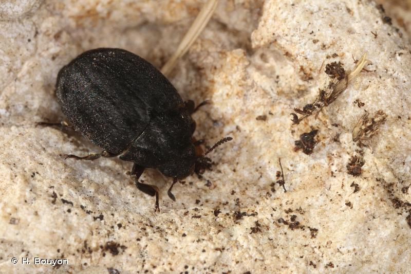 Byrrhus pustulatus