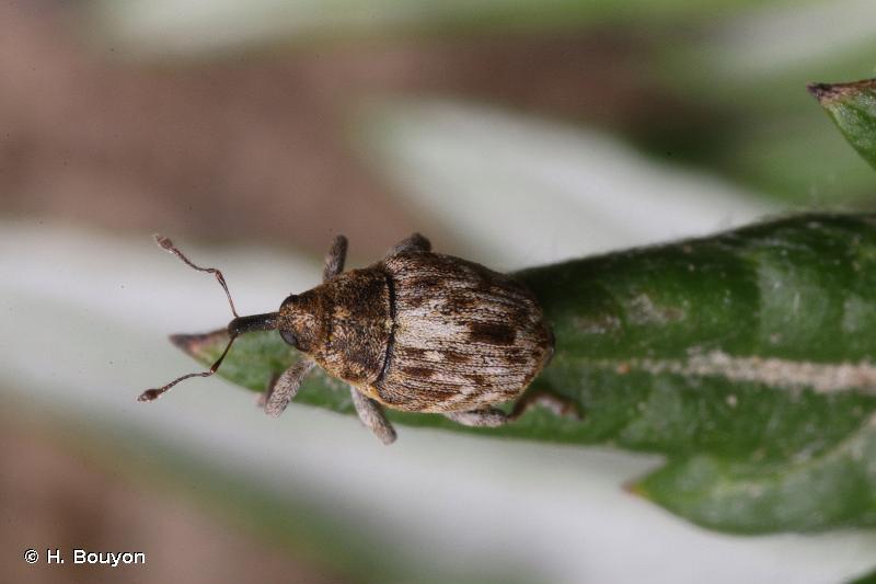 Glocianus distinctus