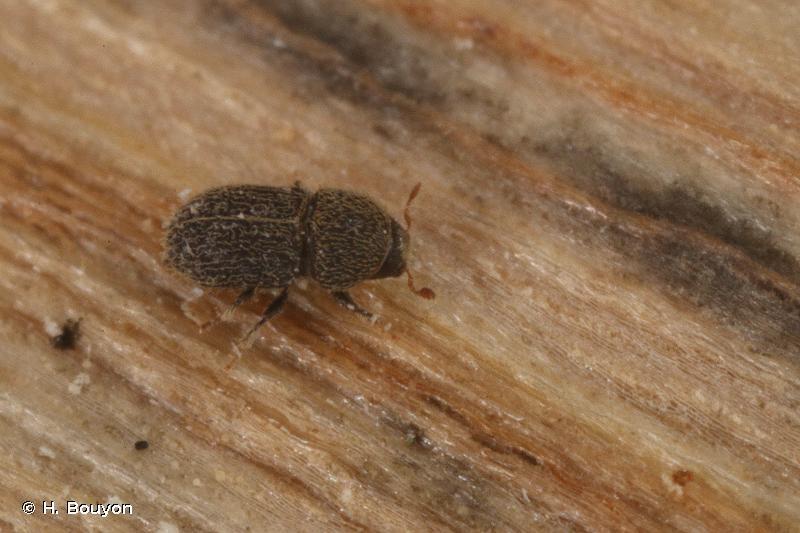 Hypoborus ficus