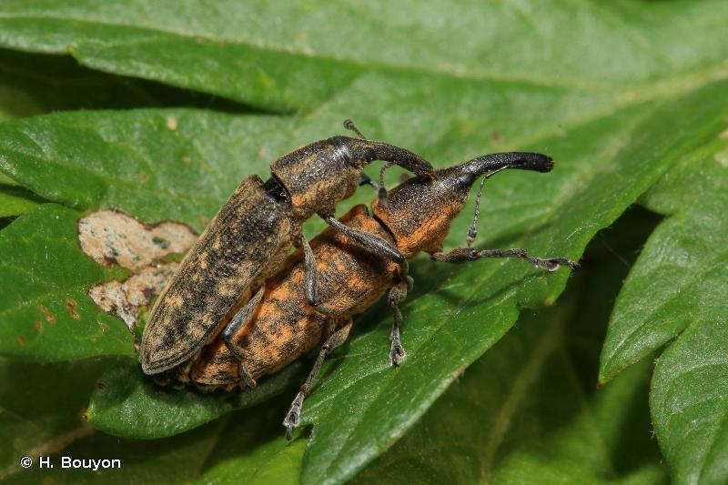 Lixus fasciculatus