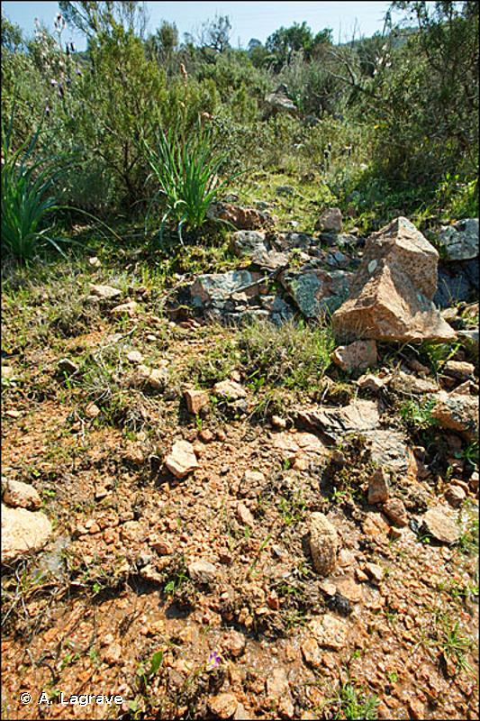 3170-1 - Mares temporaires méditerranéennes à Isoètes (<em>Isoetion</em>) - Cahiers d'habitats