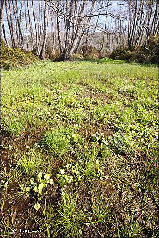 22.3418 - Groupements méditerranéens amphibies à plantes de taille réduite - CORINE biotopes
