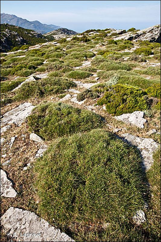31.75 - Landes épineuses cyrno-sardes - CORINE biotopes