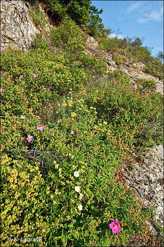 32.34 - Maquis bas à Cistes (Cistus sp. pl.) - CORINE biotopes