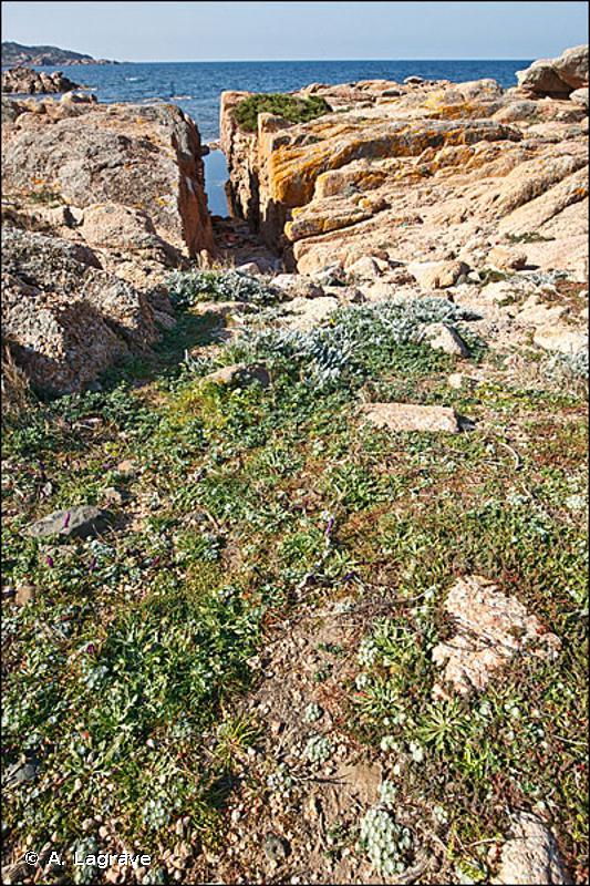 34.513 - Communautés méditerranéennes annuelles sur sols superficiels - CORINE biotopes