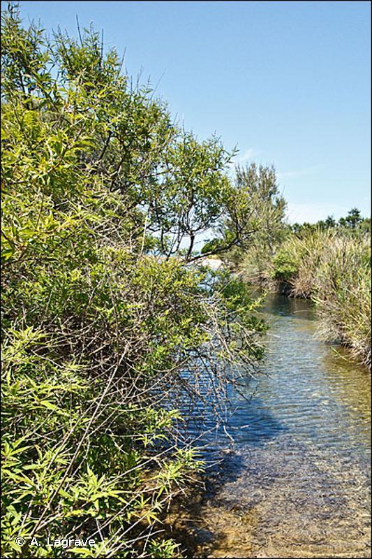 92D0 - Galeries et fourrés riverains méridionaux (<em>Nerio-Tamaricetea</em> et <em>Securinegion tinctoriae</em>) - Habitats d'intérêt communautaire