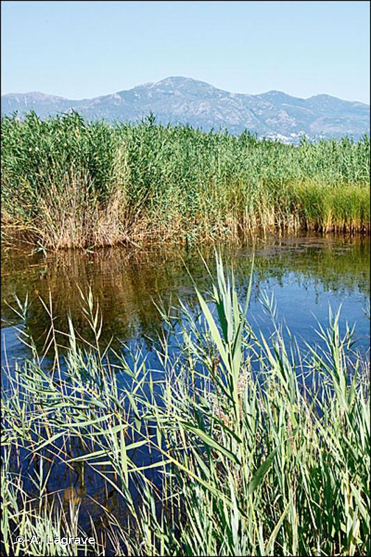 53.111 - Phragmitaies inondées - CORINE biotopes