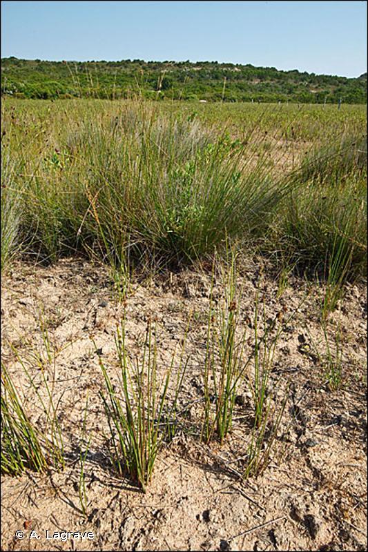 7230-1 - Végétation des bas-marais neutro-alcalins - Cahiers d'habitats