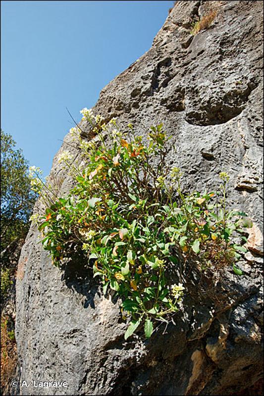 8210-5 - Falaises calcaires de moyenne altitude, de Corse - Cahiers d'habitats